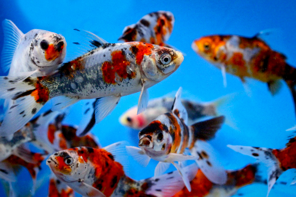 The importance of proper filtration in your fish pond for Comet pond fish