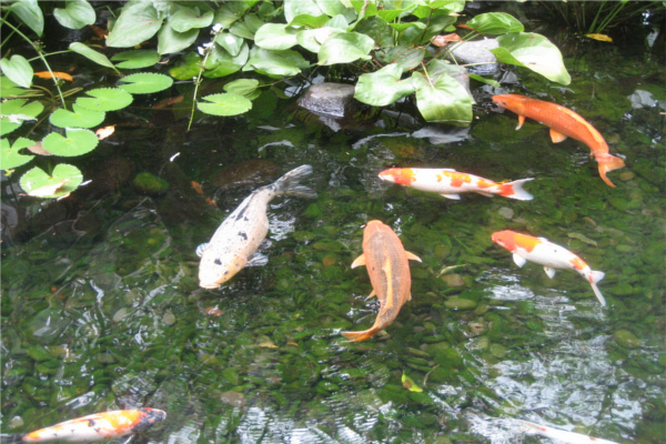 The importance of proper filtration in your fish pond for Preparing pond water for fish